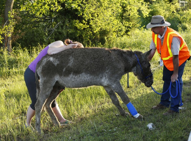 An injured donkey receives medical attention after a tornado swept through west of Wynnewood, Okla., in rural Gavin County, Monday, May 9, 2016. Storms swept through the nation's midsection Monday, spawning numerous tornadoes. (Nate Billings/The Oklahoman via AP)