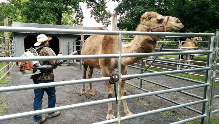 The Zoo's camel gets its daily cleaning -- in the form of a leaf-blower. (Brian O'Doherty).