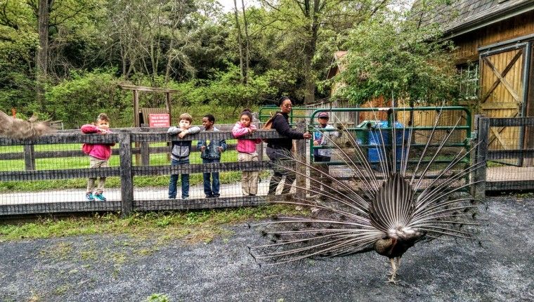 Children watch a peacock at the Maryland Zoo. (Brian O'Doherty)