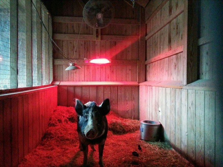 A pig warmed by a heating lamp at the Zoo. (Brian O'Doherty)
