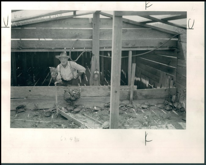 November 14, 1948-Miles Hancock and terrapins.(Bodine/Baltimore Sun)