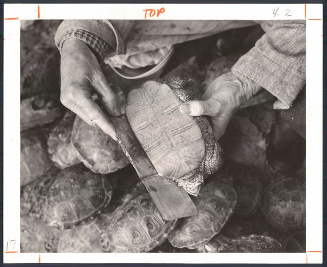 A 1962 photo illustrates how a terrapin is measured. Marketable sizes at the time ranged from 4 to 7 inches and more. The prices at that point ranged from $6 to $24 per dozen. (Bodine/Baltimore Sun)