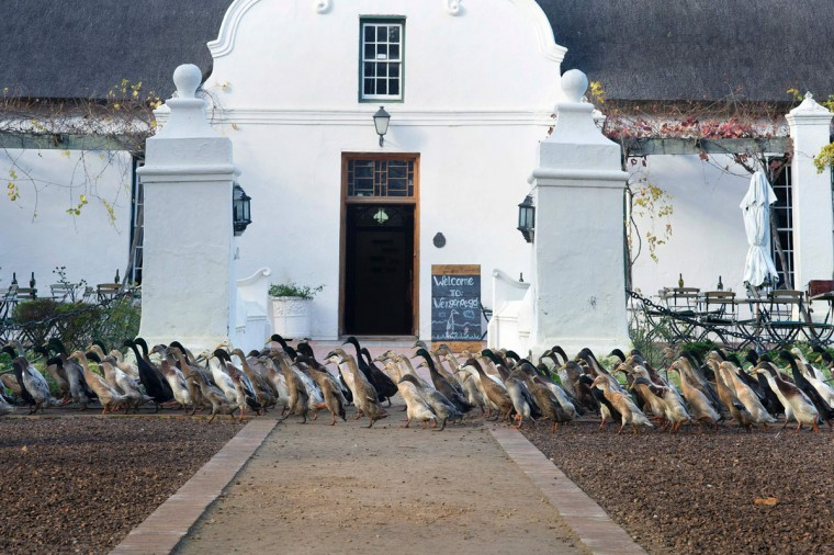 A trained duck-herd of approximately 1000 Indian Runner ducks pass the manor house, on their way to the vineyards, at Vergenoegd wine estate on June 3, 2016 near Stellenbosch. The ducks eat snails and other pests which threaten the grapevines, allowing the farm to avoid using toxic pesticides, and they also fertilise the ground with their droppings. The ducks sleep in an enclosed pen, and are herded out to the vineyards in the day, then for a swim in the dam, and then back to their pen in the late afternoon. (AFP Photo/Rodger Bosch)