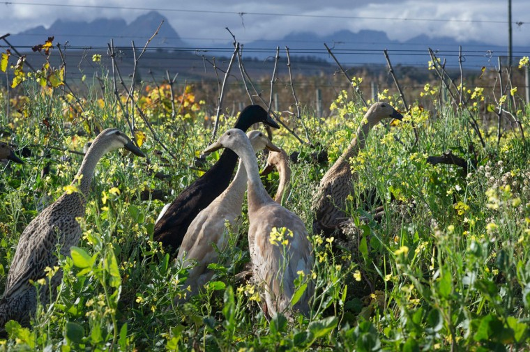A picture taken at Vergenoegd wine estate on June 3, 2016 near Stellenbosch shows a trained duck-herd of approximately 1000 Indian Runner ducks in the vineyards. The ducks eat snails and other pests which threaten the grapevines, allowing the farm to avoid using toxic pesticides, and they also fertilise the ground with their droppings. The ducks sleep in an enclosed pen, and are herded out to the vineyards in the day, then for a swim in the dam, and then back to their pen in the late afternoon. (AFP Photo/Rodger Bosch)