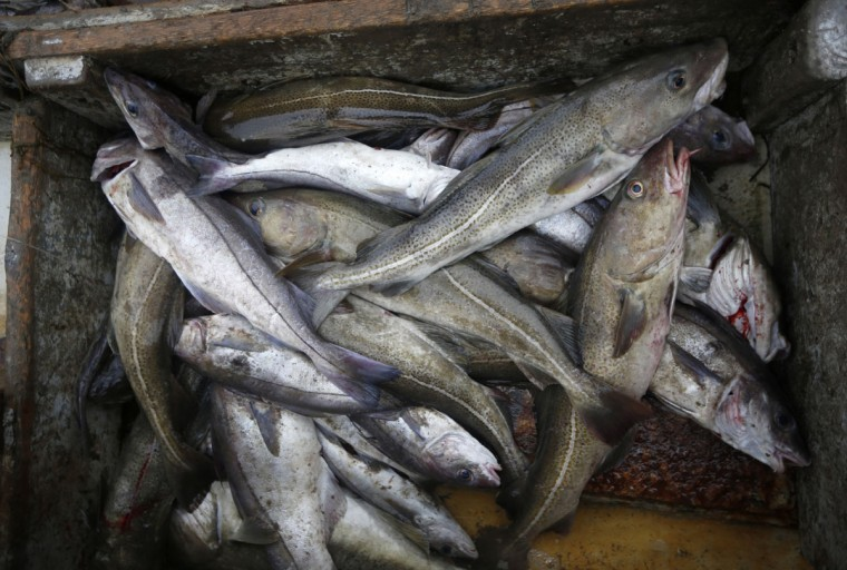 Cod, the larger fish at right, and silvery haddock, are sorted aboard a fishing boat off the coast of New Hampshire. After centuries of weathering overfishing, pollution, foreign competition and increasing government regulation, the latest challenge for area fishermen is the one that's doing them in: climate change. (AP Photo/Robert F. Bukaty)