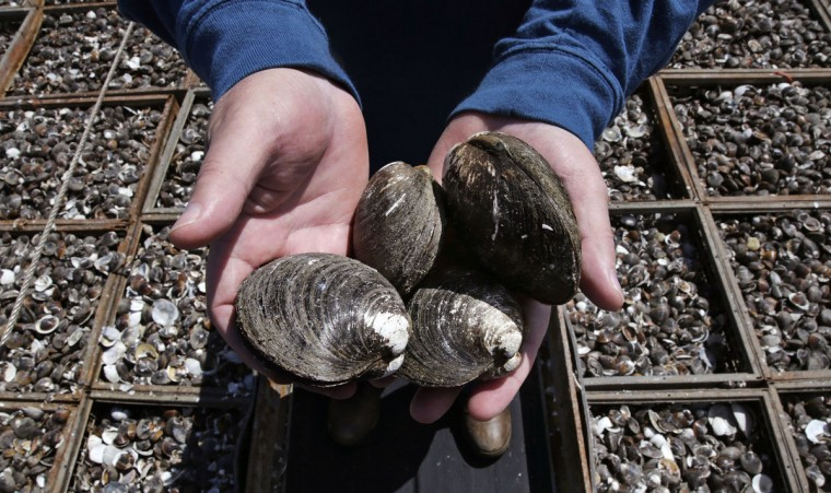 In this Thursday, May 19, 2016 photo, Mike Mohr, captain of the fishing vessel E.S.S. Pursuit, cradles quahog clams on the deck of his ship while offloading a two-day haul at a dock in New Bedford, Mass. Those clams, which he once caught off the New Jersey shore, have migrated northward or farther out to sea. About 10 years ago Mohr started commuting six hours each way from his New Jersey home to New Bedford to harvest them. (AP Photo/Charles Krupa)