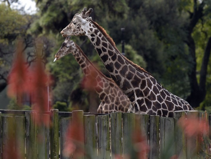 Giraffes are seen at Buenos Aires Zoo on June 24, 2016. The zoo will temporary close to become an ecological park. / (AFP Photo/Juan Mabromata)