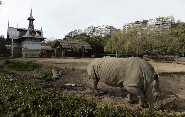 A rhino is seen at Buenos Aires Zoo on June 24, 2016. The zoo will temporary close to become an ecological park. / (AFP Photo/Juan Mabromata)
