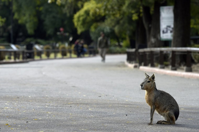 A Patagonian mara (Dolichotis patagonum) is seen at Buenos Aires Zoo on June 24, 2016. The zoo will temporary close to become an ecological park. / (AFP Photo/Juan Mabromata)