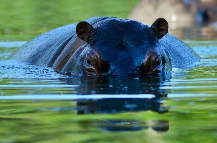 A hippo is seen at the Hacienda Napoles theme park, once the private zoo of drug kingpin Pablo Escobar at his Napoles ranch, in Doradal, Antioquia department, Colombia on June 22, 2016. (RAUL ARBOLEDA/AFP/Getty Images)