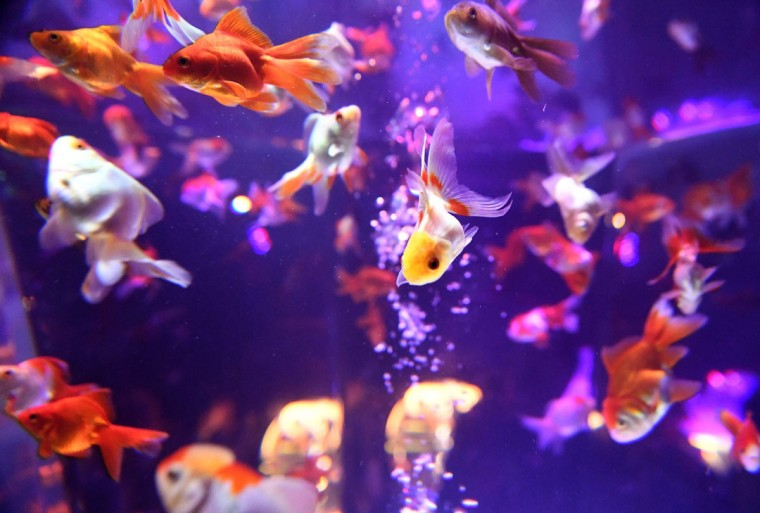 Goldfish swim in a fish tank during a press preview of the 2016 EDO Nihonbashi Art Aquarium exhibition in Tokyo on July 7, 2016. (TOSHIFUMI KITAMURA/AFP/Getty Images)