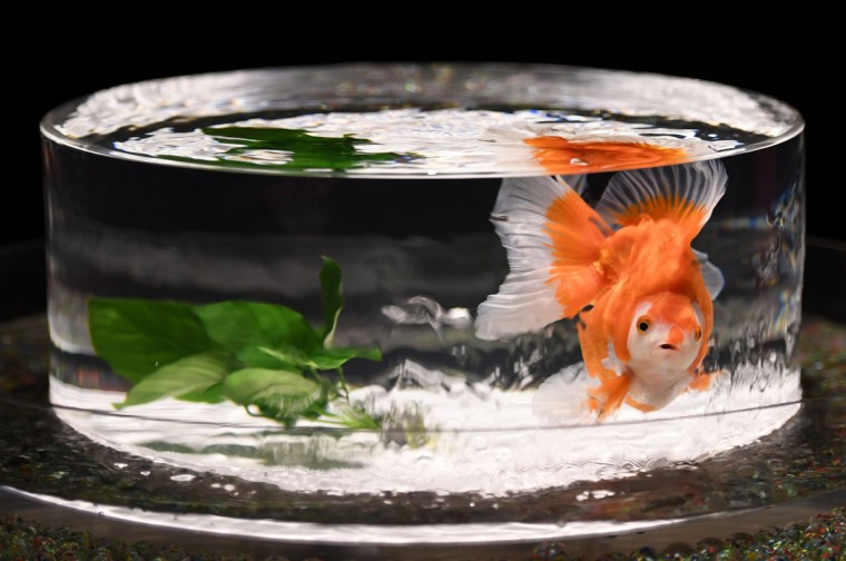 A goldfish swims in a fishbowl during a press preview of the 2016 EDO Nihonbashi Art Aquarium exhibition in Tokyo on July 7, 2016. (TOSHIFUMI KITAMURA/AFP/Getty Images)