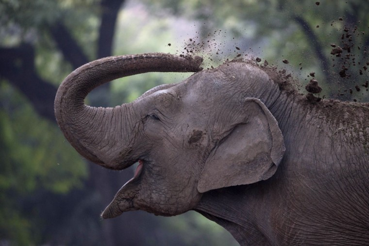 "An elephant named ""Pupi"" throws dirt on her body inside the former Buenos Aires Zoo in Argentina, Friday, July 1, 2016. The city government announced it will transform the city's zoo into an ecological park, for a limited number of species, and will begin with the transfer of birds of prey to natural reserves. Their plan to also transform the current site into a conservation and research site will take years while veterinarians decide which animals can be transferred to local reserves and abroad. Those who stay at the ecological park will live in what officials describe as much better conditions. (AP Photo/Natacha Pisarenko)"