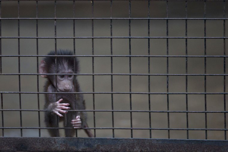 A baby monkey stands inside a cage at the former Buenos Aires Zoo in Argentina, Friday, July 1, 2016. The city government announced it will transform the city's zoo into an ecological park, for a limited number of species, and will begin with the transfer of birds of prey to natural reserves. Their plan to also transform the current site into a conservation and research site will take years while veterinarians decide which animals can be transferred to local reserves and abroad. Those who stay at the ecological park will live in what officials describe as much better conditions. (AP Photo/Natacha Pisarenko)