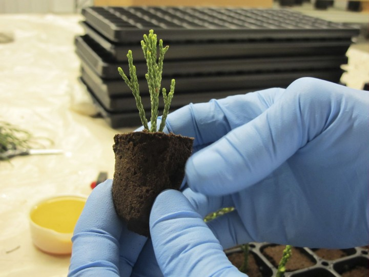 In this May 25, 2016, photo, Jim Clark of the Archangel Ancient Tree Archive in Copemish, Mich., holds a newly planted tip of greenery that was cut from a giant sequoia tree in California. It will be planted in a mixture of peat and gel with a goal of growing it into an adult clone that can be used with thousands of others to restore forests and fight climate change by storing vast amounts of carbon. (AP Photo/John Flesher)