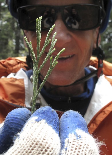 In this May 23, 2016 photo, arborist Jim Clark holds a sprig of new growth that he collected from the dizzying top of an ancient giant sequoia in the southern Sierra Nevada near Camp Nelson, Calif. Clark volunteers with Archangel Ancient Tree Archive, a nonprofit group that collects genetic samples from ancient trees and clones them in a lab to be planted in the forest. The group believes the giant sequoias and coastal redwoods are blessed with some of the heartiest genetics of any trees on earth and that propagating them will help reverse climate change. (AP Photo/Scott Smith)