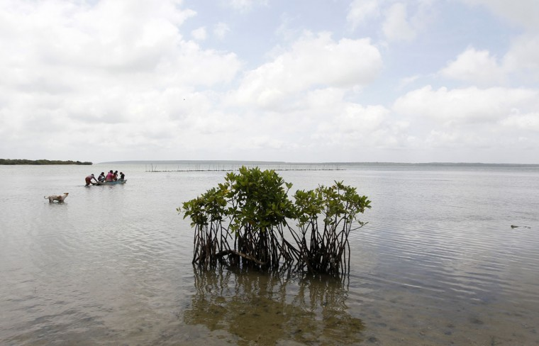 In this July 18, 2016 photo, an isolated manger plant is seen in the foreground as Sri Lankan women in the distance use a raft to tend their shellfish nest set up by a micro finance loan in a lagoon in Kalpitiya, about 130 kilometers (81 miles) north of Colombo, Sri Lanka. Sri Lanka's government and environmentalists are working to protect tens of thousands of acres of mangrove forests _ the seawater-tolerant trees that help protect and build landmasses, better absorb carbon from the environment mitigating effects of global warming and reducing impact of natural disasters like tsunamis. Authorities have identified about 37,000 acres (15,000 hectares) of mangrove forests in Sri Lanka that are earmarked for preservation. (AP Photo/Eranga Jayawardena)