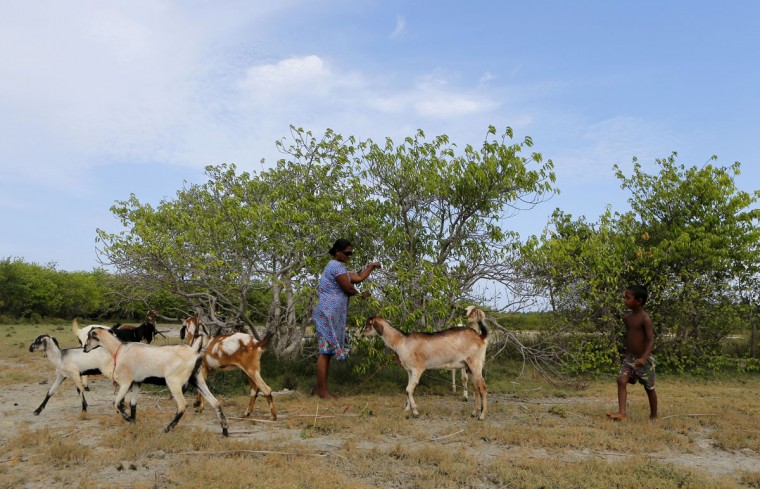 In this July 18, 2016 photo, a Sri Lankan woman grazes her flock of goats in a former mangrove forest in Kalpitiya, about 130 kilometers (81 miles) north of Colombo, Sri Lanka. Sri Lanka's government and environmentalists are working to protect tens of thousands of acres of mangrove forests _ the seawater-tolerant trees that help protect and build landmasses, better absorb carbon from the environment mitigating effects of global warming and reducing impact of natural disasters like tsunamis. Authorities have identified about 37,000 acres (15,000 hectares) of mangrove forests in Sri Lanka that are earmarked for preservation. (AP Photo/Eranga Jayawardena)