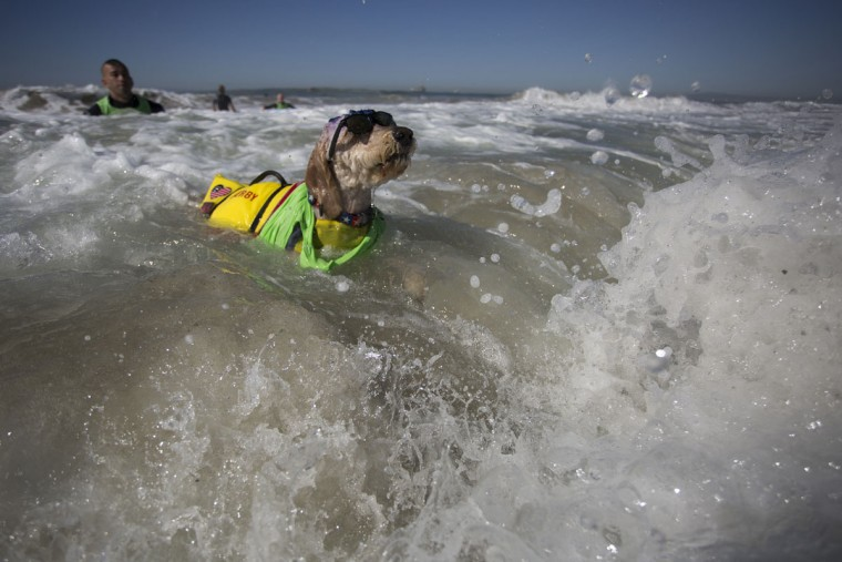 HUNTINGTON BEACH, CA - SEPTEMBER 25: A surfing dog named Derby swims through waves after a wipe out at the Surf Dog Competition at the 8th annual Petco Surf City Surf Dog event on September 25, 2016 in Huntington Beach, California. Dogs owners are expected to attend the dog surfing competition from as far as Florida, Australia and Brazil. (Photo by David McNew/Getty Images)
