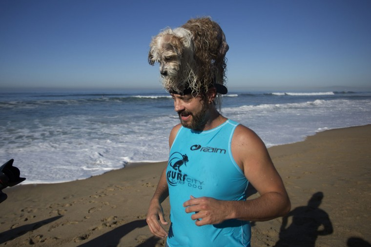 HUNTINGTON BEACH, CA - SEPTEMBER 25: A surfing dog has a high a perch atop a human's head at the Surf Dog Competition at the 8th annual Petco Surf City Surf Dog event on September 25, 2016 in Huntington Beach, California. Dogs owners are expected to attend the dog surfing competition from as far as Florida, Australia and Brazil. (Photo by David McNew/Getty Images)