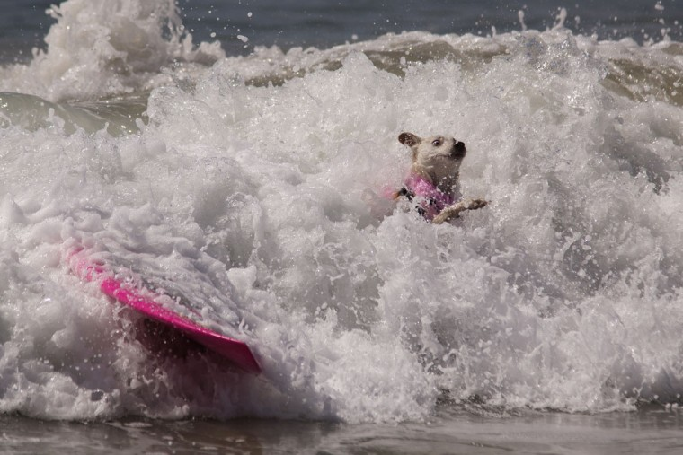 HUNTINGTON BEACH, CA - SEPTEMBER 25: A surfing dog wipes out during the Surf Dog Competition at the 8th annual Petco Surf City Surf Dog event on September 25, 2016 in Huntington Beach, California. Dogs owners are expected to attend the dog surfing competition from as far as Florida, Australia and Brazil. (Photo by David McNew/Getty Images)