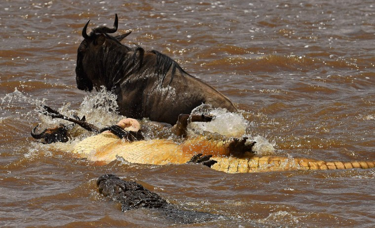 A crocodile rolls over a wildebeest to suffocate it during the annual wildebeests migration in the Masai Mara game reserve on September 12, 2016. (Carl de Souza/AFP/Getty Images)