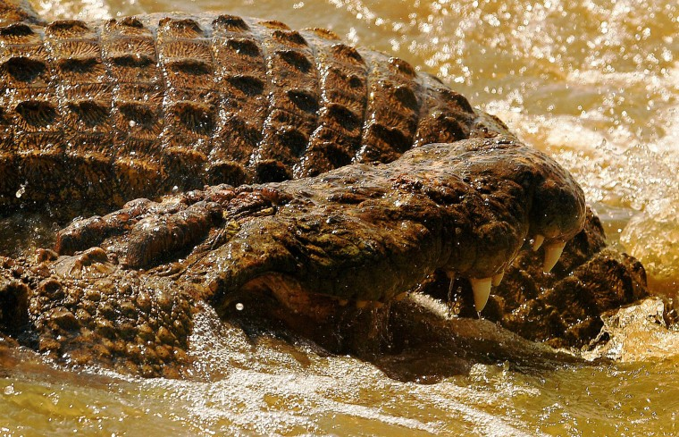 Crocodiles fight during the annual wildebeest migration in the Masai Mara game reserve on September 14, 2016. (Carl de Souza/AFP/Getty Images)