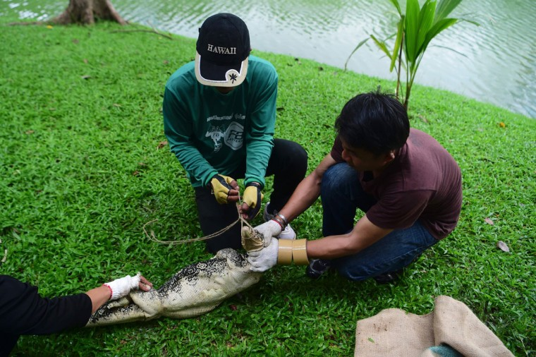 "Park officials secure the head of a monitor lizard as they tie its mouth in Lumpini park in Bangkok on September 20, 2016. The hulking, prehistoric-looking monitor lizards that stalk the grounds of Bangkok's Lumpini park have long triggered fascination -- and fear -- from visitors to the city centre's main green space. But with their population soaring out of control to some 400, city officials are on a mission to bait and bag some of the meaty reptiles known as ""hia"" -- a noun which doubles as the most powerful swear word in Thai. (AFP PHOTO / MUNIR UZ ZAMAN)"
