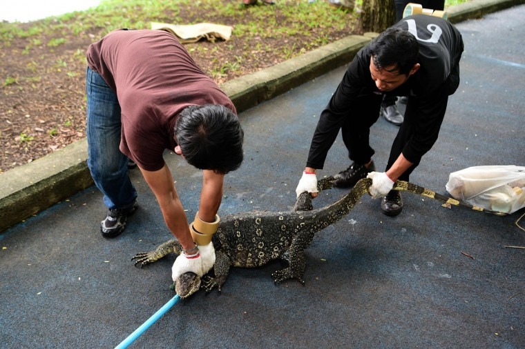 "Park officials hold a monitor lizard after catching it using a bait in Lumpini park in Bangkok on September 20, 2016. The hulking, prehistoric-looking monitor lizards that stalk the grounds of Bangkok's Lumpini park have long triggered fascination -- and fear -- from visitors to the city centre's main green space. But with their population soaring out of control to some 400, city officials are on a mission to bait and bag some of the meaty reptiles known as ""hia"" -- a noun which doubles as the most powerful swear word in Thai. (AFP PHOTO / MUNIR UZ ZAMAN)"