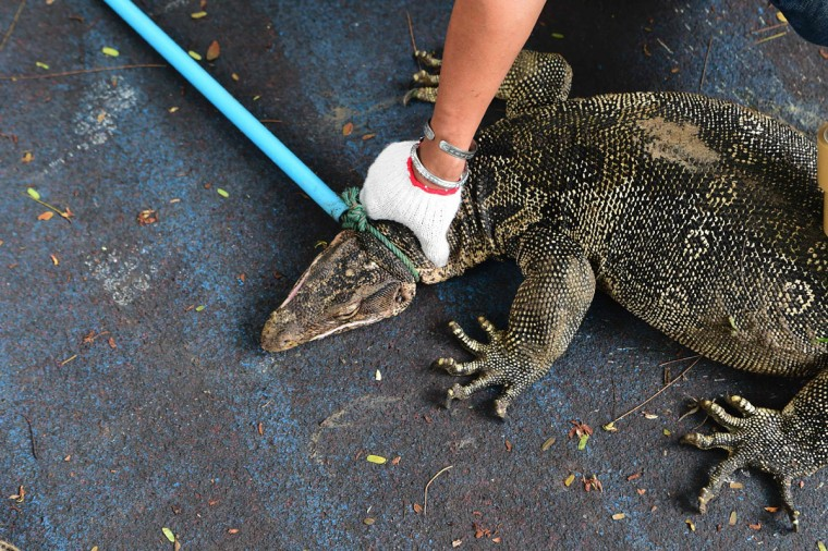 """A park official catches a monitor lizard with a lasso in Lumpini park in Bangkok on September 20, 2016. The hulking, prehistoric-looking monitor lizards that stalk the grounds of Bangkok's Lumpini park have long triggered fascination -- and fear -- from visitors to the city centre's main green space. But with their population soaring out of control to some 400, city officials are on a mission to bait and bag some of the meaty reptiles known as """"hia"""" -- a noun which doubles as the most powerful swear word in Thai. / AFP PHOTO / MUNIR UZ ZAMAN)"""