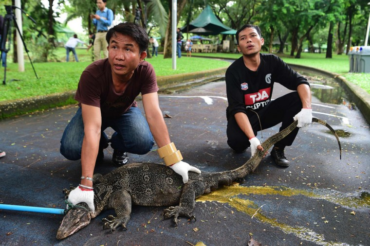 "Park officials hold a monitor lizard after caught with a lasso in Lumpini park in Bangkok on September 20, 2016. The hulking, prehistoric-looking monitor lizards that stalk the grounds of Bangkok's Lumpini park have long triggered fascination -- and fear -- from visitors to the city centre's main green space. But with their population soaring out of control to some 400, city officials are on a mission to bait and bag some of the meaty reptiles known as ""hia"" -- a noun which doubles as the most powerful swear word in Thai. (AFP PHOTO / MUNIR UZ ZAMAN)"