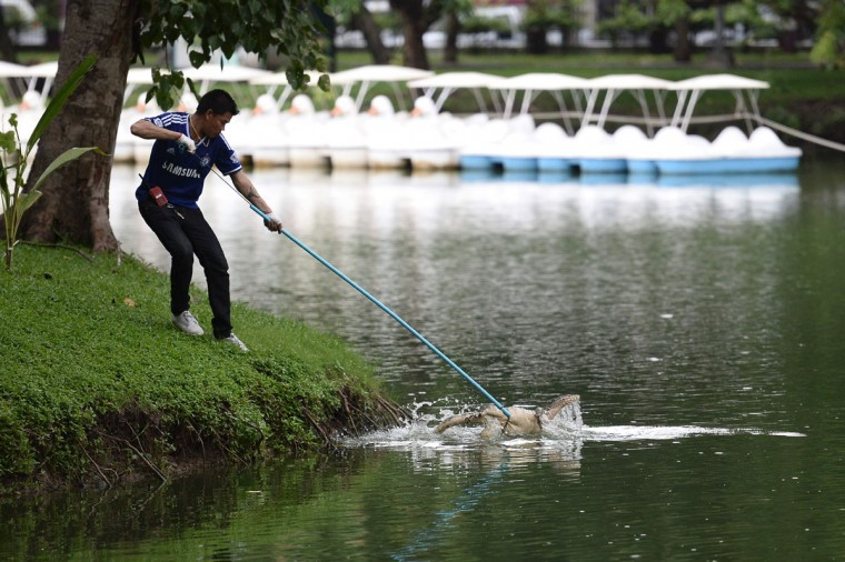 "A park official catches a monitor lizard with a lasso in Lumpini park in Bangkok on September 20, 2016. The hulking, prehistoric-looking monitor lizards that stalk the grounds of Bangkok's Lumpini park have long triggered fascination -- and fear -- from visitors to the city centre's main green space. But with their population soaring out of control to some 400, city officials are on a mission to bait and bag some of the meaty reptiles known as ""hia"" -- a noun which doubles as the most powerful swear word in Thai. (AFP PHOTO / MUNIR UZ ZAMAN)"