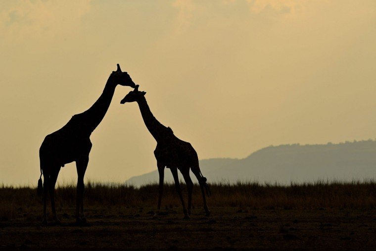 Giraffes stand together during the annual wildebeest migration in the Masai Mara game reserve on September 12, 2016. (Carl de Souza/AFP/Getty Images)