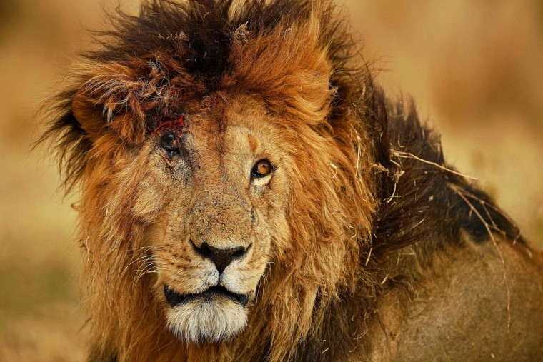 A male lion injured from a fight with another male during the annual wildebeest migration in the Masai Mara game reserve is seen on September 12, 2016. (Carl de Souza/AFP/Getty Images)