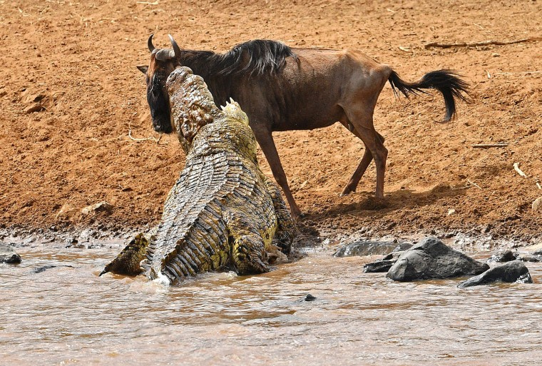 A large crocodile attacks a wildebeest during the migration in the Masai Mara game reserve on September 12, 2016. The daring wildebeest returned after the first attempt by the crocodile and was attacked again but walked away unharmed. (Carl de Souza/AFP/Getty Images)