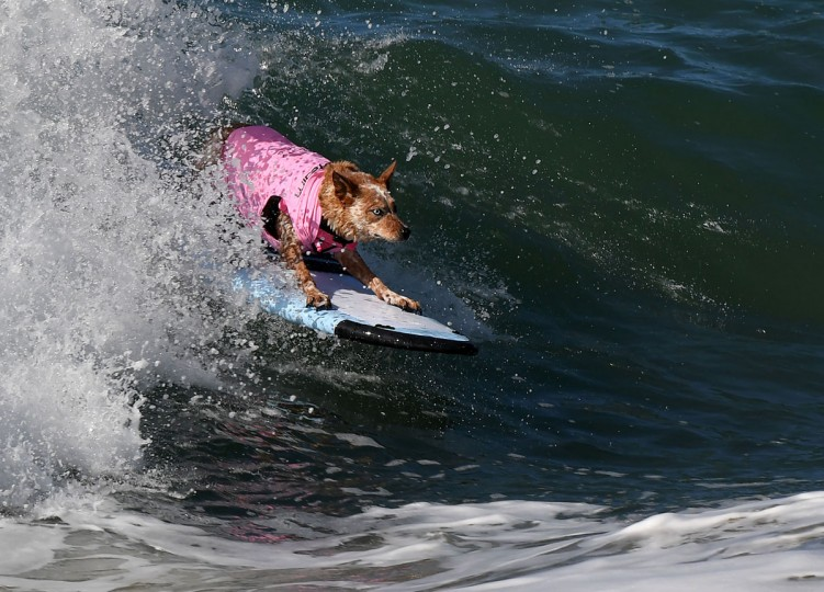 Surf dog Skyler who is a Red Australian Shepherd surfs a large wave during the 8th annual Surf City Surf Dog event at Huntington Beach, California on September 25, 2016. Dogs, big and small, and some in tandem braved the large swell that greeted them at the iconic event. (AFP PHOTO / Mark RALSTON)