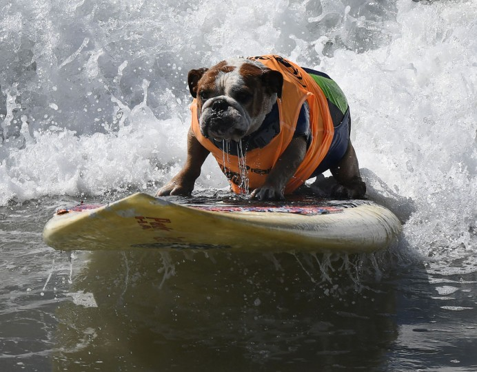 Surf dog Sully surfs a large wave during the 8th annual Surf City Surf Dog event at Huntington Beach, California on September 25, 2016. Dogs, big and small, and some in tandem braved the large swell that greeted them at the iconic event. (AFP PHOTO / Mark RALSTON)