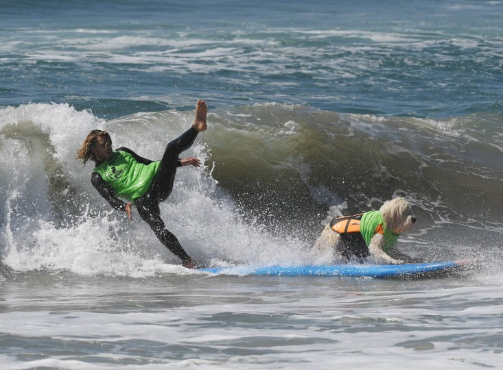 Surf dog Kona Kai the Labradoodle and owner Shaun Lucado compete in the tandem event during the 8th annual Surf City Surf Dog event at Huntington Beach, California on September 25, 2016. Dogs, big and small, and some in tandem braved the large swell that greeted them at the iconic event. (AFP PHOTO / Mark RALSTON)