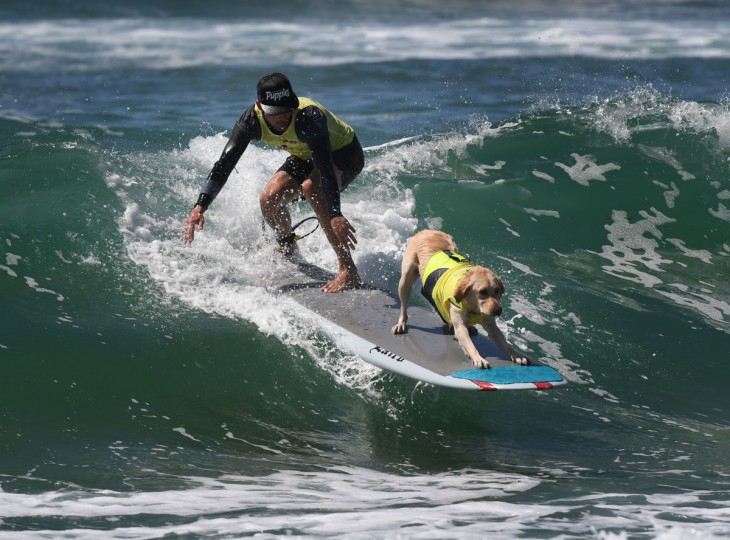 A surf dog competes in the tandem event during the 8th annual Surf City Surf Dog event at Huntington Beach, California on September 25, 2016. Dogs, big and small, and some in tandem braved the large swell that greeted them at the iconic event. (AFP PHOTO / Mark RALSTON)