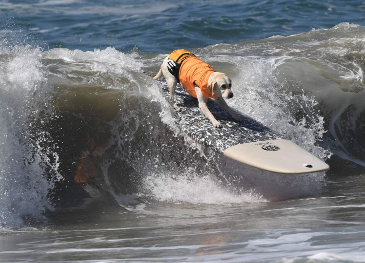 Surf dog Haole the Yellow labrador surfs a wave during the 8th annual Surf City Surf Dog event at Huntington Beach, California on September 25, 2016. Dogs, big and small, and some in tandem braved the large swell that greeted them at the iconic event. (AFP PHOTO / Mark RALSTON)