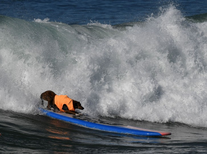 Surf dog Parafina from Brazil catches a large wave during the 8th annual Surf City Surf Dog event at Huntington Beach, California on September 25, 2016. Dogs, big and small, and some in tandem braved the large swell that greeted them at the iconic event. (AFP PHOTO / Mark RALSTON)