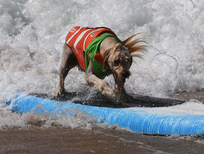 Surf dog Yogi rides a wave to the beach during the 8th annual Surf City Surf Dog event at Huntington Beach, California on September 25, 2016. Dogs, big and small, and some in tandem braved the large swell that greeted them at the iconic event. (AFP PHOTO / Mark RALSTON)