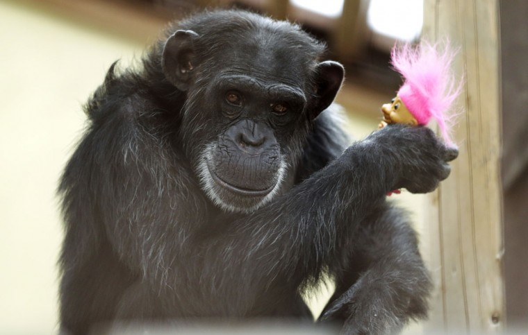 In this photo taken Aug. 8, 2016, Foxie, a chimp who lives at Chimpanzee Sanctuary Northwest near Cle Elum, Wash., holds a troll doll given to her as a present during a party for her 40th birthday. Sanctuaries across the country are preparing for an influx of retired private lab chimpanzees, now that the federal government has stopped backing experiments on humankind's closest relatives. (AP Photo/Ted S. Warren)