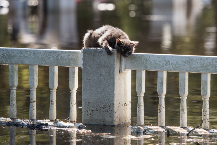 FAIR BLUFF, NC - OCTOBER 11: A cat is stranded on a fence due to floodwaters from the Lumber River on October 11, 2016 in Fair Bluff, North Carolina. Thousands of homes have been damaged in North Carolina as a result of Hurricane Matthew and many are still under threat of flooding. (Photo by Sean Rayford/Getty Images)