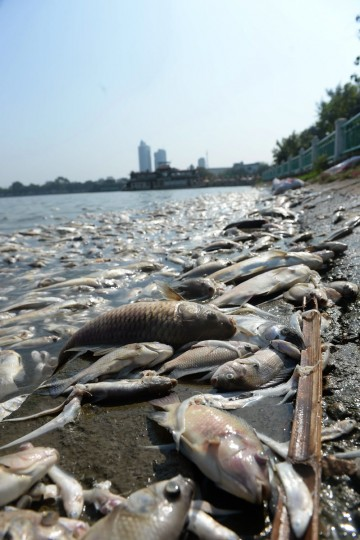 Dead fish are pictured at a corner of Hanoi's largest lake Ho Tay on October 3, 2016. (HOANG DINH NAM/AFP/Getty Images)