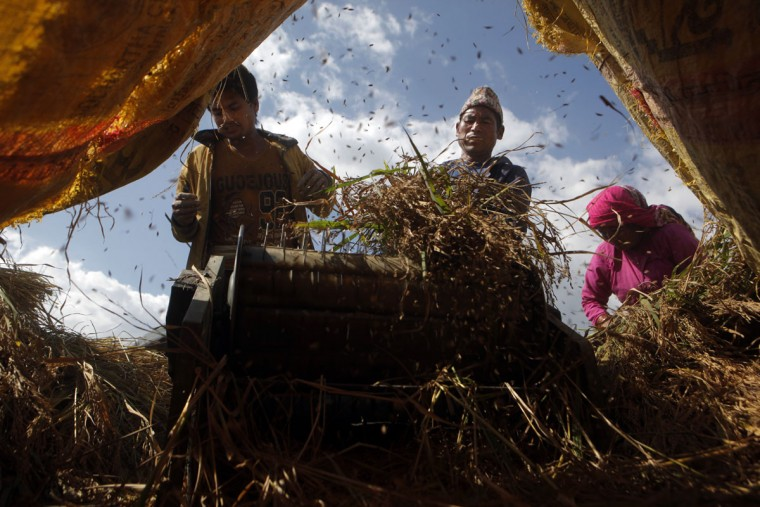 Nepalese farmers thresh paddy after harvesting it in Chunnikhel, on the outskirts of Kathmandu, Nepal, Wednesday, Oct. 19, 2016. According to the World Bank, agriculture is the main source of food, income, and employment for the majority in Nepal. (AP Photo/Niranjan Shrestha)