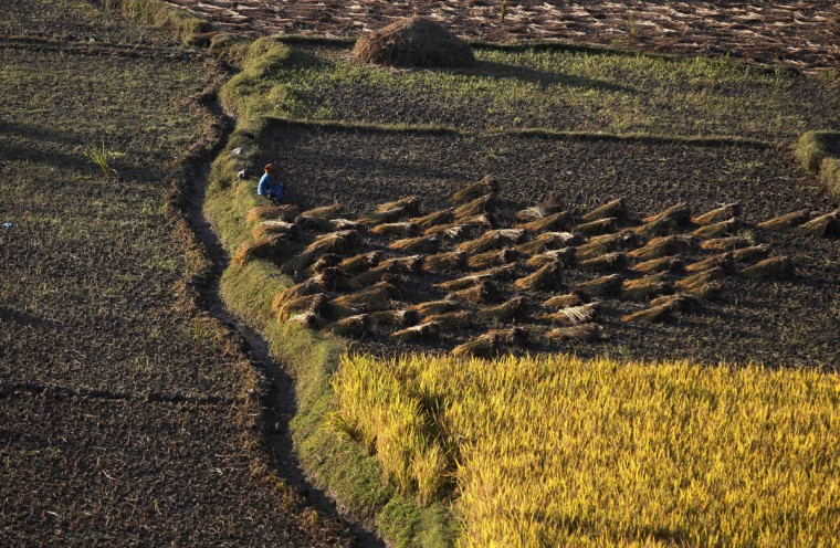 A Nepalese farmer takes rest while harvesting paddy in Chunnikhel, on the outskirts of Kathmandu, Nepal, Thursday, Oct. 20, 2016. Agriculture is the main source of food, income, and employment for the majority of people in Nepal. (AP Photo/Niranjan Shrestha)