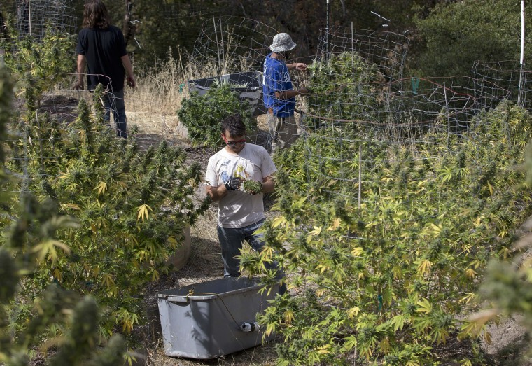 In this Wednesday, Oct. 12, 2016 photo, Anthony Viator, center, and other workers harvest marijuana plants on grower Laura Costa's farm near Garberville, Calif. Costa opposes the passage of Proposition 64, the November ballot initiative which would legalize the recreational use of marijuana, fearing that corporate interests and big farms will put her and other small growers out of business. (AP Photo/Rich Pedroncelli)