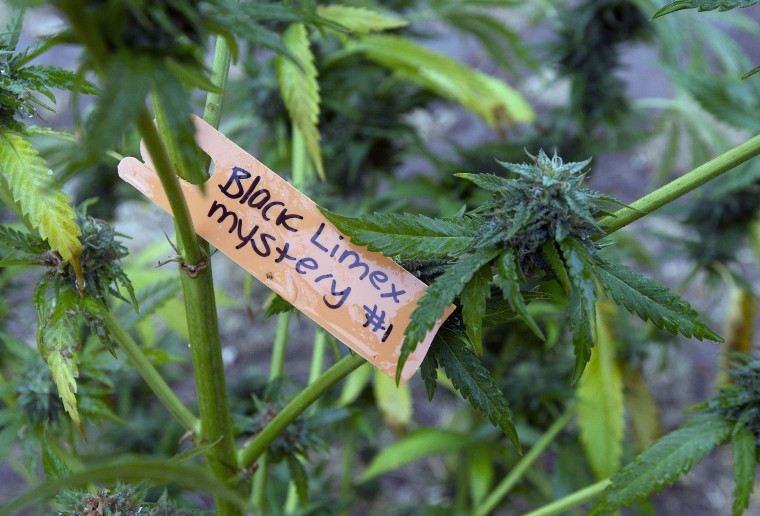 In this Thursday, Oct. 13, 2016 photo, a tag identifies the type of marijuana plant on the medical marijuana farm of Swami Chaitanya and his wife, Nikki Lastreto near Laytonville, Calif. The pair supports the passage of Proposition 64, the Nov. 8 ballot initiative which would legalize the recreational use of marijuana. (AP Photo/Rich Pedroncelli)