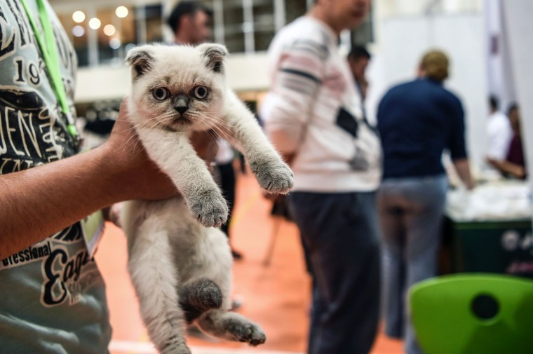 A man holds his cat before present it to the jury during a world cats show contest organized by the World Cat Federation (WCF) on October 16, 2016 in Istanbul. (OZAN KOSE/AFP/Getty Images)